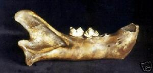AMERICAN LION RIGHT MANDIBLE REPLICA