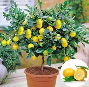 USA-Seller 20Pcs Rare Lemon Tree Indoor Outdoor Available Heirloom Fruit Seeds