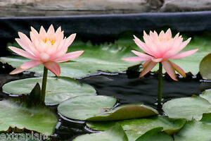 Nymphaea Colorado Pink Hardy Live Water Lily Plant Tuber Rhizome BUY2GET1FREE*