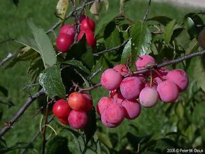 Wild Plum (Prunus americanum) 1-2 year old