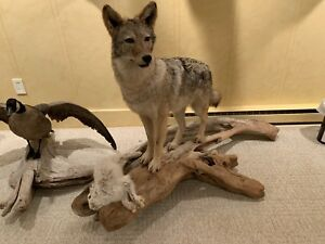 Coyote Taxidermy Mount On Drift Wood Life size Standing Floor Mount Snow Rabbit