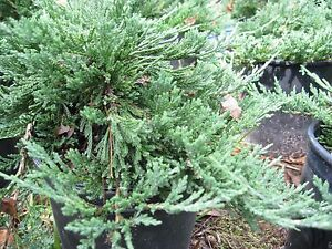 'Blue Rug' Juniper, ground cover, bonsai, evergreen, 100 plants, FREE shipping
