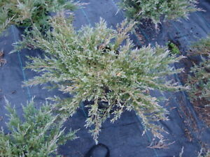 Plumosa Compacta Juniper, FIVE plants, low spreading evergreen