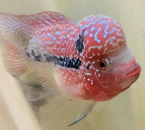 Super Red Pearl Dragon Flowerhorn Male  Excellent Quality