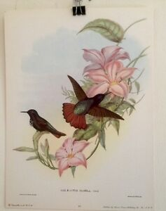 FINE ART LITHOGRAPH: Antique Book Plate Emerald Hummingbirds By Gould 9x12 $9.00