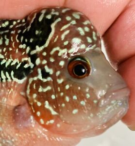 Easter Sale!!!Super Red Pearl Dragon Flowerhorn Male  Excellent Quality