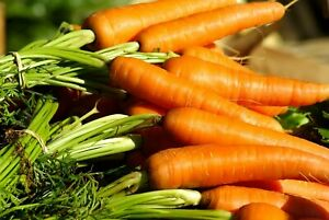 Danvers 126 Carrot Seeds | NON-GMO | Vegetable Garden Seeds