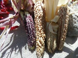 Pod Corn - very unusual corn with each kernel surrounded by a husk