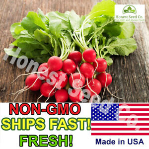 Organic Champion Radish Seeds | NON-GMO | Fresh Vegetable Garden Seeds