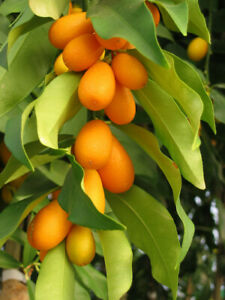Kumquat Tree, 4 cuttings 6-8 inches High Yielding Fruit Tree