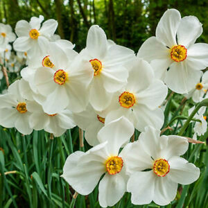 Poeticus Daffodil Actaea Large Bulbs Sz 12 14 Narcissus White Flower Scented $14.95