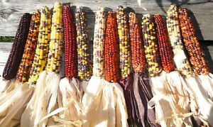 10 Decorative Indian Corn Cob Ears Colorful LARGE 7 10″ Grown and Dried 2020 $4.25