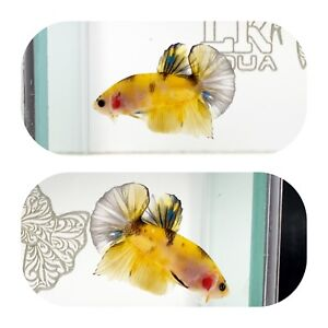 #257 Koi Yellow Galaxy Halfmoon Plakat Betta LK AQUA $25.00