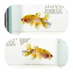 #259 Koi Yellow Galaxy Halfmoon Plakat Betta LK AQUA $25.00