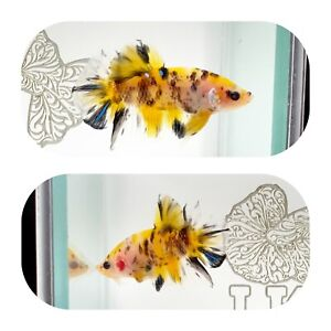 #269 Koi Yellow Galaxy Halfmoon Plakat Betta LK AQUA $25.00
