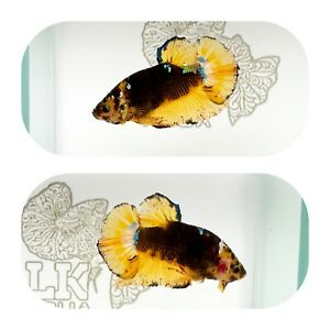 #271 Koi Yellow Galaxy Halfmoon Plakat Betta LK AQUA $25.00