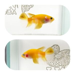 #274 Koi Yellow Galaxy Halfmoon Plakat Betta LK AQUA $25.00
