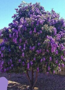 4X Texas Mountain Laurel Young Plant