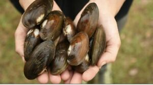 live freshwater mussels clams 24
