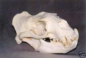 STELLER'S SEA LION  SKULL (MALE) REPLICA