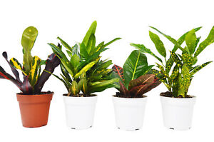 4 Croton Plant Variety Pack All Different Species FREE Care Guide