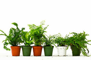 6 Fern Variety Pack Live Plants FREE Care Guide 4 Pot House Plant