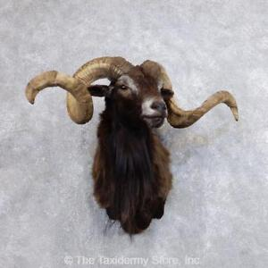18732 E  Corsican Ram Taxidermy Half Life Size Mount For Sale