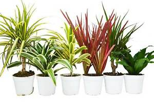 6 Different Dracaenas Variety Pack Live House Plant FREE Care Guide 4 Pot