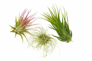 3 Tillandsia Air Plant Pack FREE Care Guide House Plants