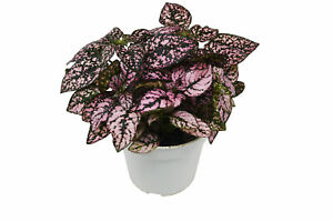 Hypoestes #x27;Pink#x27; Polka Dot Plant 4quot; Pot Live Plant FREE Care Guide $14.99