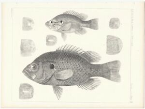 1855 8 Animal Lithograph of Two Fish from the Pacific Railroad Survey $9.99