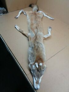 Tanned #1 grade XXL Red Coyote Hide With 4 FeetPeltFursTrappingTaxidermy