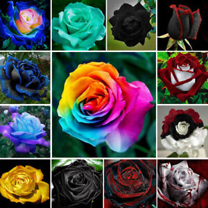 NEW Rare Colorful Rainbow Rose Flower Seeds Home Garden Plants Multi-Color HOT
