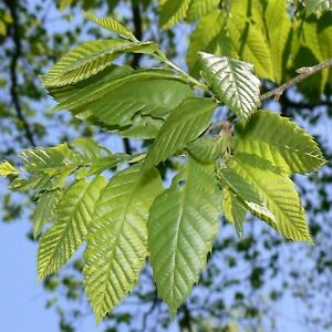 Chinese Chestnut Tree 3 4#x27; $24.99