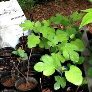 5-BROWN TURKEY FIG TREE Cutting's Easy to Grow SWEET EATING
