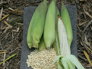 Elote Blanco Mexicano Maiz Elotero Big White Mexican Corn-on-the-Cob 60-70 SEEDS
