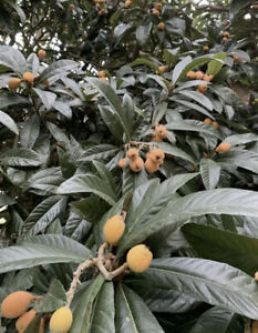 SEEDS 20 LOQUAT/ Asian Plum Evergreen Fruit Tree CA. Grown Crop Free Shipping