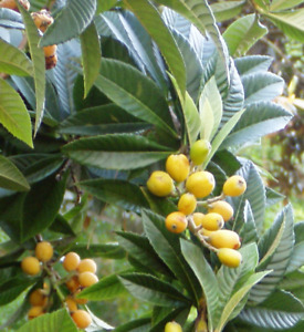 Japanese Plum or Loquat Tree (Eriobotrya japonica) Pint Plant