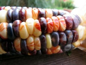 Rainbow Sweet Corn is a symphony of color and flavor $5.00