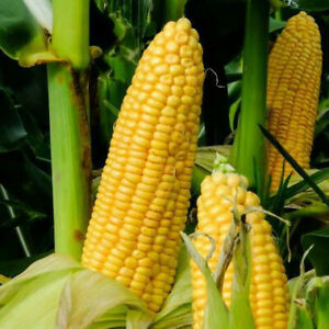 Honey Select Sweet Corn Seeds USA Untreated Organic Non GMO Vegetable for 2021 $3.80