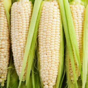 Silver Queen Sweet White Corn Seeds Organic Untreated Vegetable Plant Garden $3.80