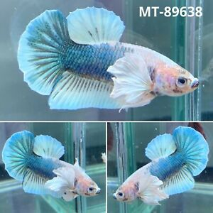 MT 89638 Blue Rim Marble Dumbo Big Ear Live Male Plakat Betta Fish Grade A $35.80