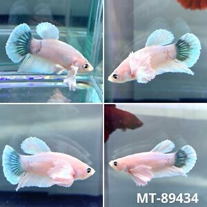 MT 89434 White Marble Dumbo Big Ear Live Male Plakat Betta Fish Grade A $25.80
