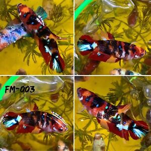 FM 003 Burgundy Diamond Candy Nemo Koi Galaxy Female Plakat Betta Fish Grade A $30.70