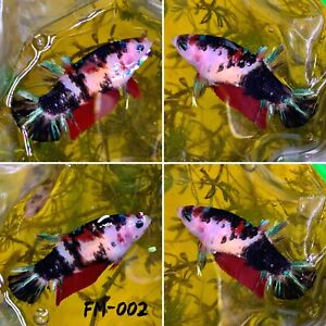 FM 002 Half Black Red Candy Nemo Koi Galaxy Female Plakat Betta Fish Grade A $30.70