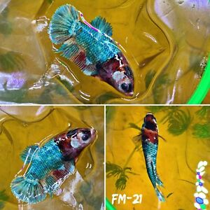 FM 21 Half Green Marble Nemo Koi Galaxy Female Plakat Betta Fish High Grade A $32.70