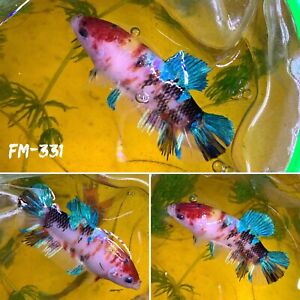 FM 331 Candy Nemo Super Koi Blue Galaxy Female Plakat Betta Fish Grade A $38.70