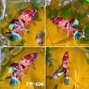 FM 606 Orange Marble Candy Nemo Koi Galaxy Female Plakat Betta Fish Grade A $42.70