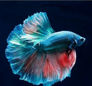 Live Betta Fish High Quality Wild Betta 3month replacement USA Seller 100% ins $15.00