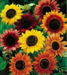 Sunflower Autumn Beauty Mix 100 Seeds $2.55